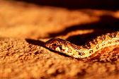 Juvenile Mole Snake — Stock Photo