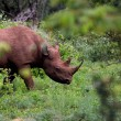 Black Rhino in Kruger — Stock Photo