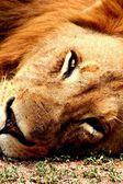 Velký muž Lev spí — Stock fotografie