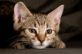 Small tabby cat in funny position — Stock Photo