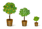 Mandarin tree in a pot — Stock Vector