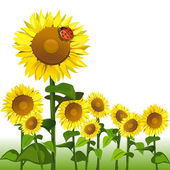 Sunflowers and ladybird isolated — Vector de stock