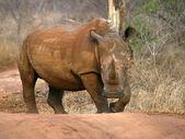 White rhino on dirt road — Stock Photo