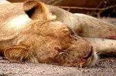 Leoa dormindo — Fotografia Stock