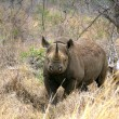 Black rhino in the bush — Stock Photo