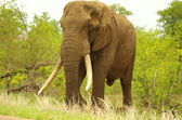 Elephant bull with long tusks — Stock Photo