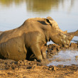 White rhino having a mud bath — Stock Photo