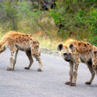 Spotted hyaenas on the road — Stok fotoğraf