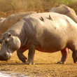 Stock Photo: Hippo with oxpecker