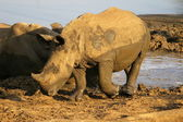 White rhino with calf — Stock Photo