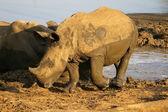 White rhino with calf — Stock Photo