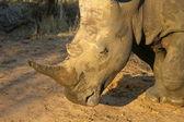White rhino head — Stock Photo