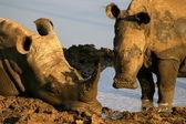 White rhino with calf at mud bath — Stock Photo