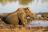 White rhino having a mud bath — Stock Photo