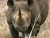 Black rhino portrait — Stock Photo