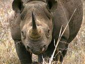 Black rhino portrait — Stock Photo