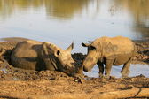 White rhino taking a mud bath — Stock Photo