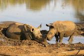 White rhino taking a mud bath — Stock Photo