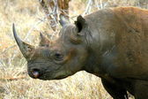 Black rhino head — Stock Photo