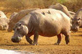 Hippo with oxpecker — Stock Photo