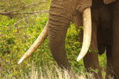 Elephant trunk and tusks — Stock Photo
