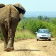 Stock Photo: Elephant bull and car