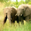 Elephants interacting — Stock Photo #23951249
