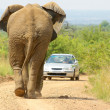 Stock Photo: Elephant versus automobile