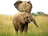 Elephants smaal and big — Stock Photo