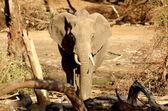 Elefant på vattenhål — Stockfoto