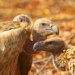 Stock Photo: White-backed vultures - southern africbirds