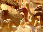 Supi - jižní afričtí ptáci — Stock fotografie