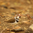 Plover - southern african birds — Stock Photo #24035055