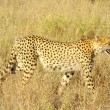 Stock Photo: Cheetah - africanimals