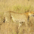 Cheetah - africanimals — Stock Photo #24035863