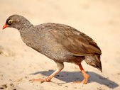 Spurfowl - southern african birds — Stock Photo