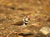 Plover - southern african birds — Stock Photo
