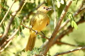 Greenbul - southern african birds — Stock Photo