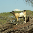 Goat on a tree - african animals - Stock Photo