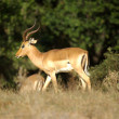 Impala male - african animals - Stock Photo