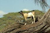 Cabra en un árbol - animales africanos — Foto de Stock
