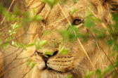 Male lion portait — Stock Photo