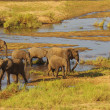 Stock Photo: Africelephants breeding herd