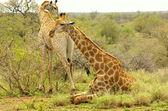 Southern giraffe — Stock Photo
