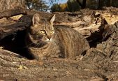 Pet, cat — Stock Photo