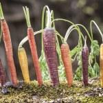 Постер, плакат: Organic Rainbow Carrots