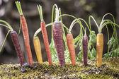 Organic Rainbow Carrots — Stock Photo