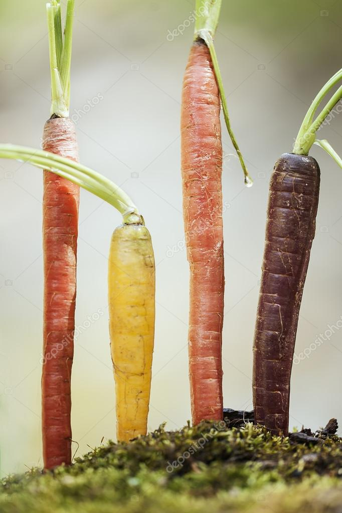 Organic Rainbow Carrots of Organic Rainbow Carrots