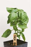 Jonge basilicum plant — Stockfoto