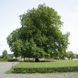 Old chestnut tree — Stock Photo